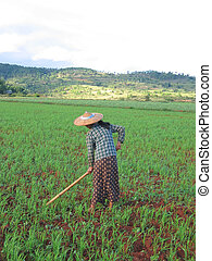 One farmer woman working in a ricefield, Kalaw, Myanmar -...