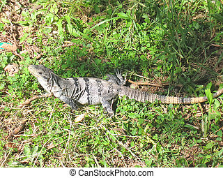 Small wild iguana on the grass, Agua Azul, Mexico - Small...