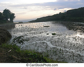 Sunset on ricefield with water, Rantepao, Sulawesi island,...