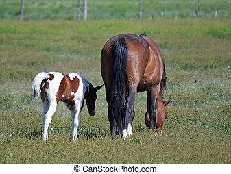 Mare and Foal - A Multicolor foal with a bay mare.