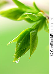 Spring green leaves - Spring green budding leaves with...