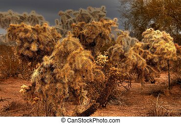 Desert Cholla 2 - Cholla cactus in the winter Arizona desert...