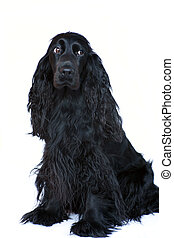 Cocker Spaniel 3 - A black Cocker Spaniel bitch sitting on a...