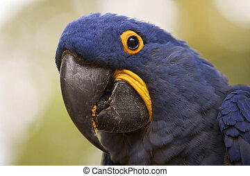 Hyacinth Macaw Closeup - A closeup of the head and face of a...