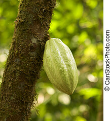 Chocolate Pod On Tree - A pod of cacao beans on a tree in a...
