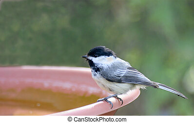 chickadee birdbath - small chickadee perched on a birdbath