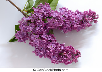 Purple lilac cluster - Macro of purple lilac cluster on...