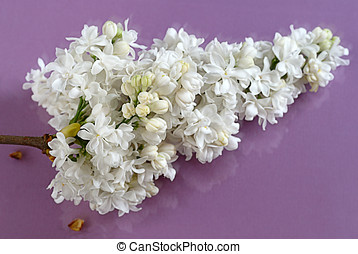 White lilac cluster - Macro of white lilac cluster on glass...