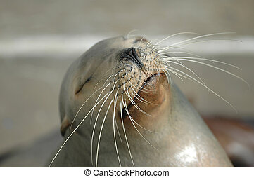 California Sea Lion - A California Sea Lion playfully shows...