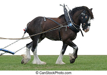 Clydsedale in Harness - A clydsedale in harness, isolated on...