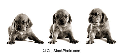Cute Puppy - Family of puppies isolated on white background...