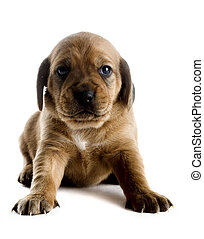 Cute Puppy - Little cute puppy isolated on white background