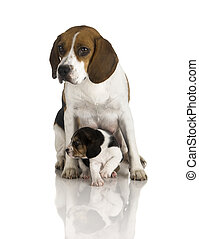 Beagle dog - Picture of a Beagle mom protecting is son
