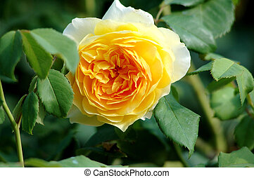 Yellow rose 2 - A yellow rose in a garden