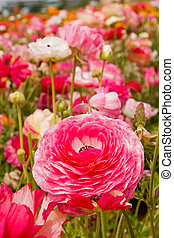 Asiatic Ranunculus Flowers - Fresh spring flowers in vivid...