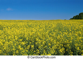 bright canola field - bright yellow canola field with deep...
