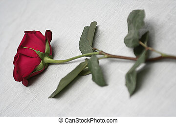 The red rose lays on a grey background