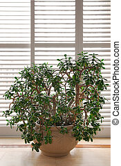 House plant jade tree in a pot and glass wall with blinds