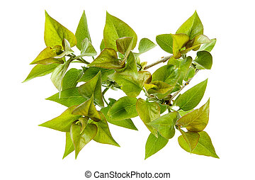 Perfect spring foliage-young sticky leaflets of a lilac
