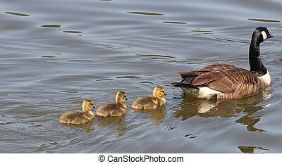 Goose and Cygnets - A goose and three cygnets swimming...