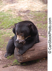 Sun Bear - A young sun bear pauses on a log with an...