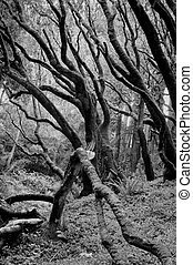 Enchanted Forest - Black white image of a coastal oak forest...