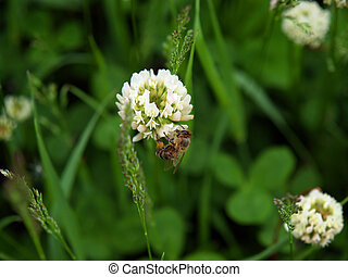 bee on the white clover flower