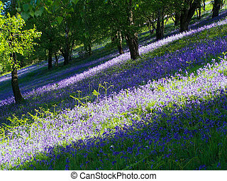 Carpet of Bluebells - Bluebells on the Malvern Hills