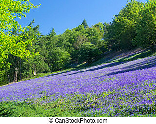Bluebell Carpet - Bluebells on the Malvern Hills