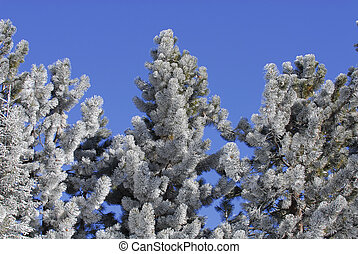 Frost Covered Pine Trees - Tops of Pine Trees covered with...