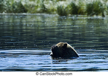 Head washing Grizzly - A grizzly bear is taking a bath in...