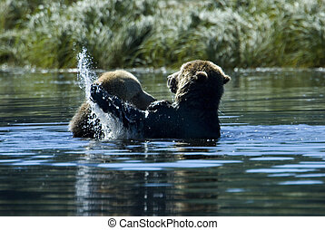 Water splashing Grizzlies - Two young grizzly bear playing...