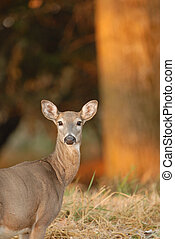 Morning Deer - A white-tailed deer doe stops in the warm...