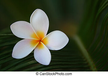 Mini Flower - A mini frangipani flower in white and yellow
