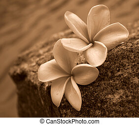 Sepia Frangipanis - Two sepia toned frangipani flowers on a...