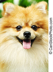 Pomeranian - A portrait of a cute pomeranian dog
