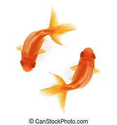 Two goldfish swimming in circles isolated on white, birdseye...