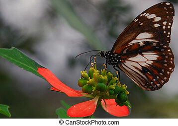 Butterfly Feeding - Common Australian Crow butterfly getting...