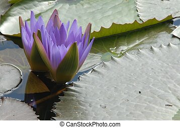 Purple Water Lilly Flower - Blue purple water lilly flower...
