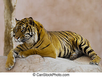 Tiger Laying on a rock