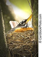 Robin - American Robin Turdus migratorius nesting in a tree...