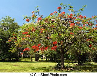 Royal Poinciana in bloom - Royal Poinciana or Flamboyant...