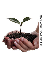 New life in hand - Seedling and soil held in hands isolated...