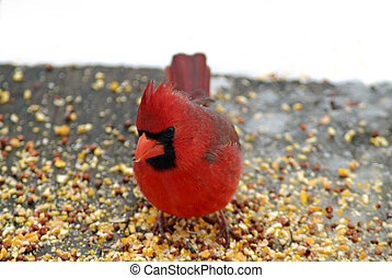 Bright red male cardinal - A beautiful bright red male...