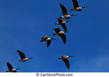 Canada Geese In Flight - A flock of Canada geese in...