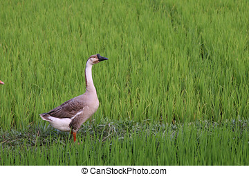 Goose in ricefield - Wild goose standing in a green...