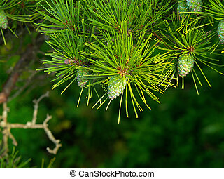 pine background with cones