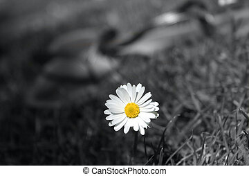 Invincible - Daisy flower blooms in a wrold of grey