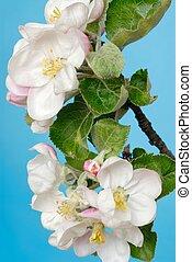 Apple Tree Flowers - Apple tree flowers macro against blue...
