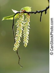 Hazel Catkins on a green background Bright spring day